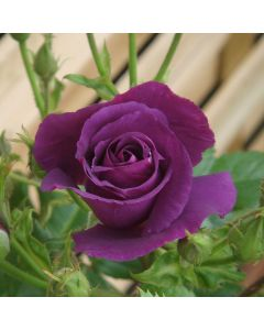 Rose Rhapsody in Blue
