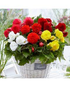 10 Fimbriata Begonia Mixed