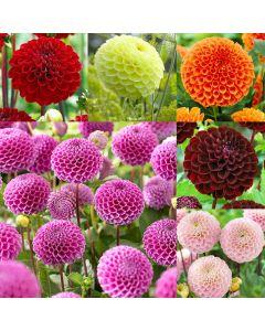 6 Pompom Dahlia Collection