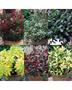 Evergreen Dwarf Shrubs Collection